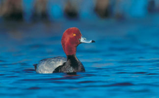 Red Headed Duck, Dodge County