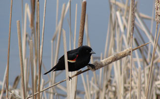 Red Winged Blackbird - Horicon Marsh in Dodge County