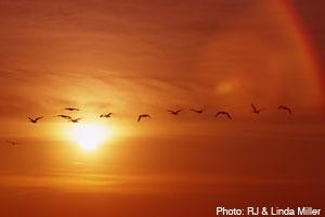 Geese in Onalaska, WI