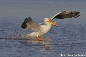Pelican in Horicon Marsh, Dodge County