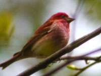 A Finch in Oneida County