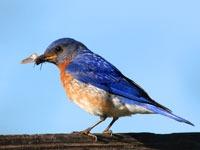 Early Robin in Vilas County