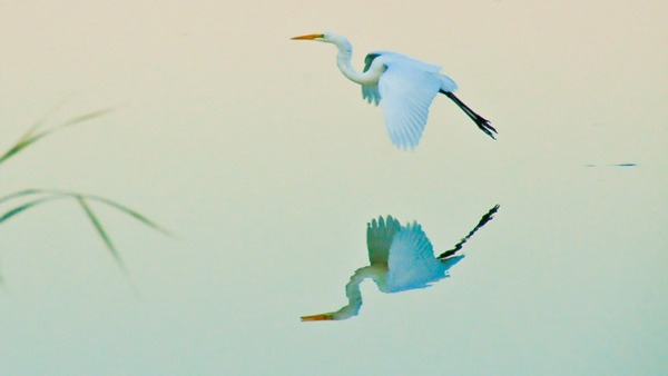 Egret Souring in Middleton
