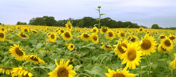 Spring Sun Flowers